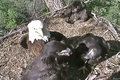 Decorah eagles playing in nest May 2012.png