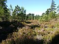 Deep heather in Abernethy Forest - geograph.org.uk - 522099.jpg