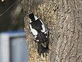Dendrocopos syriacus - Syrian Woodpecker, Adana 2017-12-10 03-4.jpg
