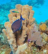 Dendrogyra cylindrus (pillar coral) (San Salvador Island, Bahamas) 1 (15513345363)