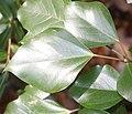 Dendropanax trifidus (leaf s2).jpg