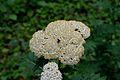 Detmold - 2014-06-13 - LIP-066 - Tanacetum macrophyllum (04).jpg