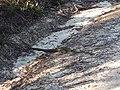 Diamond Python, Bambara Road, Brisbane Water National Park.jpg