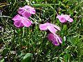 Dianthus alpinus sl2.jpg