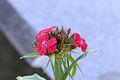 Dianthus barbatus* (7188916133).jpg