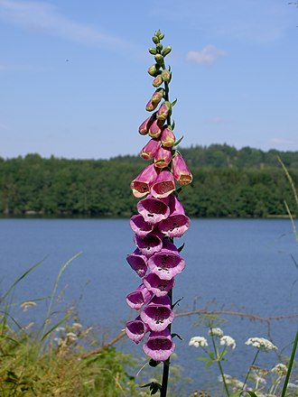 Digitalis purpurea - Digitalis purpurea (common foxglove)