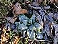 Digitalis purpurea 116219697.jpg