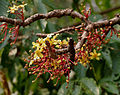 Dillenia pentagyna flowers- at Jayanti, Duars, West Bengal W IMG 5364.jpg