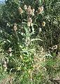 Dipsacus fullonum1.jpg
