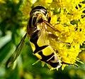 Diptera (2764346404).jpg