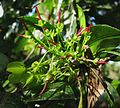 Dodonaea viscosa (5187413971).jpg