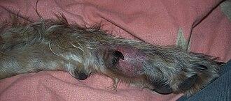 Dog health - A dog's injured leg.