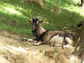 Domestic goat 002.jpg