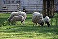 Domestic sheep (Ovis aries).jpg