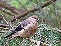 Domherre Eurasian Bullfinch (20162714188).jpg