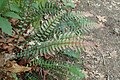 Doodia australis kz3.jpg