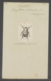 Doryscelis - Print - Iconographia Zoologica - Special Collections University of Amsterdam - UBAINV0274 022 04 0004.tif