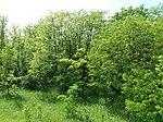 Dovhorakivskyi Botanical Reserve (2019.05.26) 12.jpg