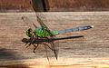 Dragonfly ran-121.jpg
