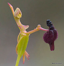 la plante de Martin 6 avril trouvée par Martine 220px-Drakaea_glyptodon