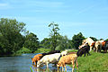 Drinking cattle, River Stour, Dedham.jpg