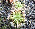 Drosera pygmaea 2.jpg
