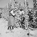 Druivenplukkers aan het werk, Bestanddeelnr 254-4159.jpg