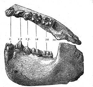 Dryopithecus - Image: Dryopithecus Fontani jaw