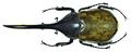 Dynastes hercules lichyi (Lachaume, 1985) male (8538222465).png