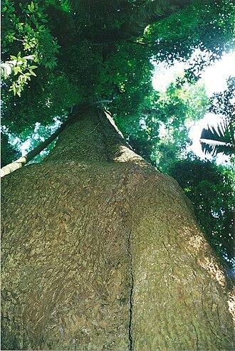 Dysoxylum fraserianum - Image: Dysoxylum fraserianum giant tree