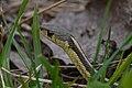 Eastern Garter Snake (Thamnophis sirtalis sirtalis) - London, Ontario 2015-04-19 (02).jpg
