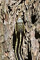 Eastern Garter Snake (Thamnophis sirtalis sirtalis) - MacGregor Point Provincial Park 06.jpg