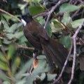 Easternwhipbird.jpg