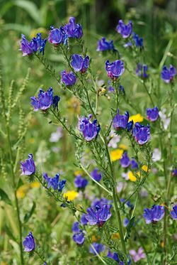 Echium April 2010-2.jpg
