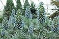 Echium candicans-IMG 1606.jpg