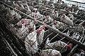 Egg industry 03.jpg