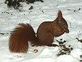 Eichhörnchen im Schnee.jpg
