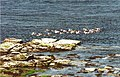 Eiders off Flint. Eynhallow - geograph.org.uk - 450194.jpg