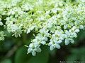 Elderflower (Sambucus nigra L.).JPG