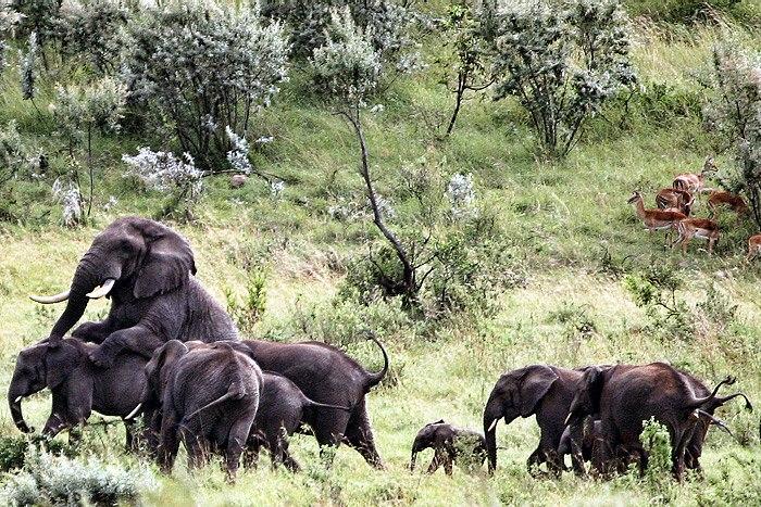 Elephantsmating