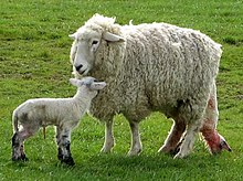 main article  domestic sheep