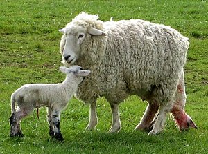 Domestic sheep reproduction - The second of twins being born on a New Zealand pasture