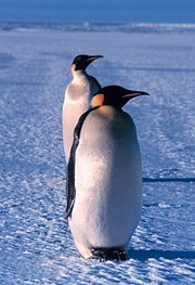 Emperor Penguins in Ross Sea, Antarctica.