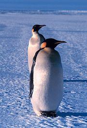 Emperor Penguins in Ross Sea, Antarctica.