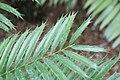 Encephalartos hildebrandtii 3zz.jpg