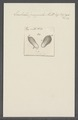 Enchelis pupula - - Print - Iconographia Zoologica - Special Collections University of Amsterdam - UBAINV0274 113 13 0019.tif