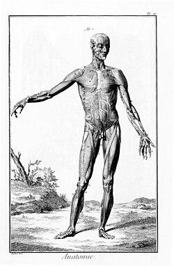 رسم تشريحي لعضلات الإنسان من encyclopédie