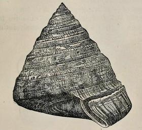 Entemnotrochus adansonianus 001.png