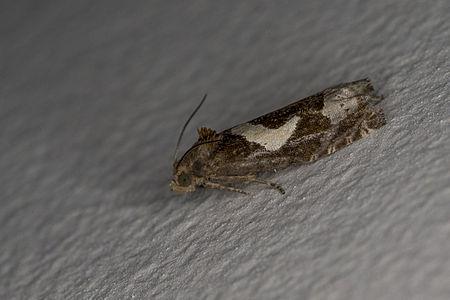 Epiblema foenella, Lodz(Poland)02(js).jpg