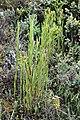 Epidendrum frutex.jpg